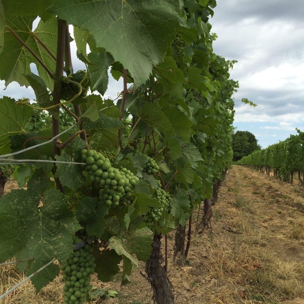Hidden Bench Vineyards - Grapes