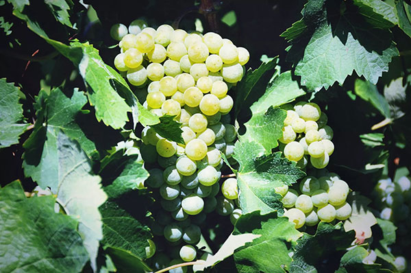 Raisins-FIOL-Prosecco
