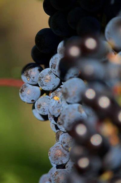 Grapes-Osoyoos-Larose