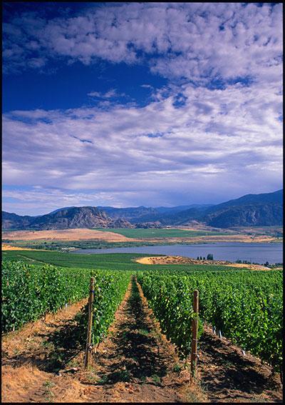 LaRose---Vineyards